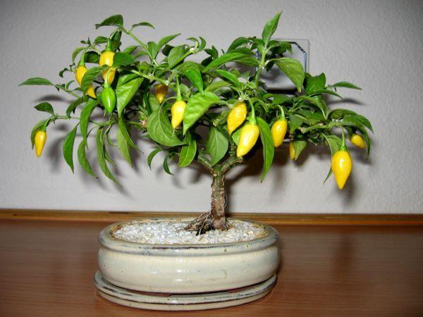 Chili Bonsai Tree Bonsai Tree